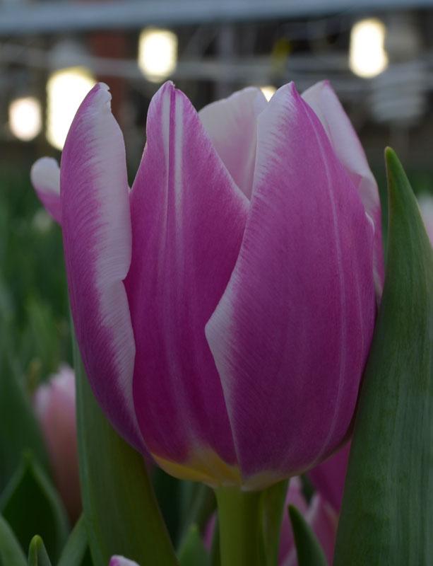 https://mir-tulpanov.ru/flowers/tulips/vigonka/2014/14.02.2014/Synaeda%20Blue.jpg