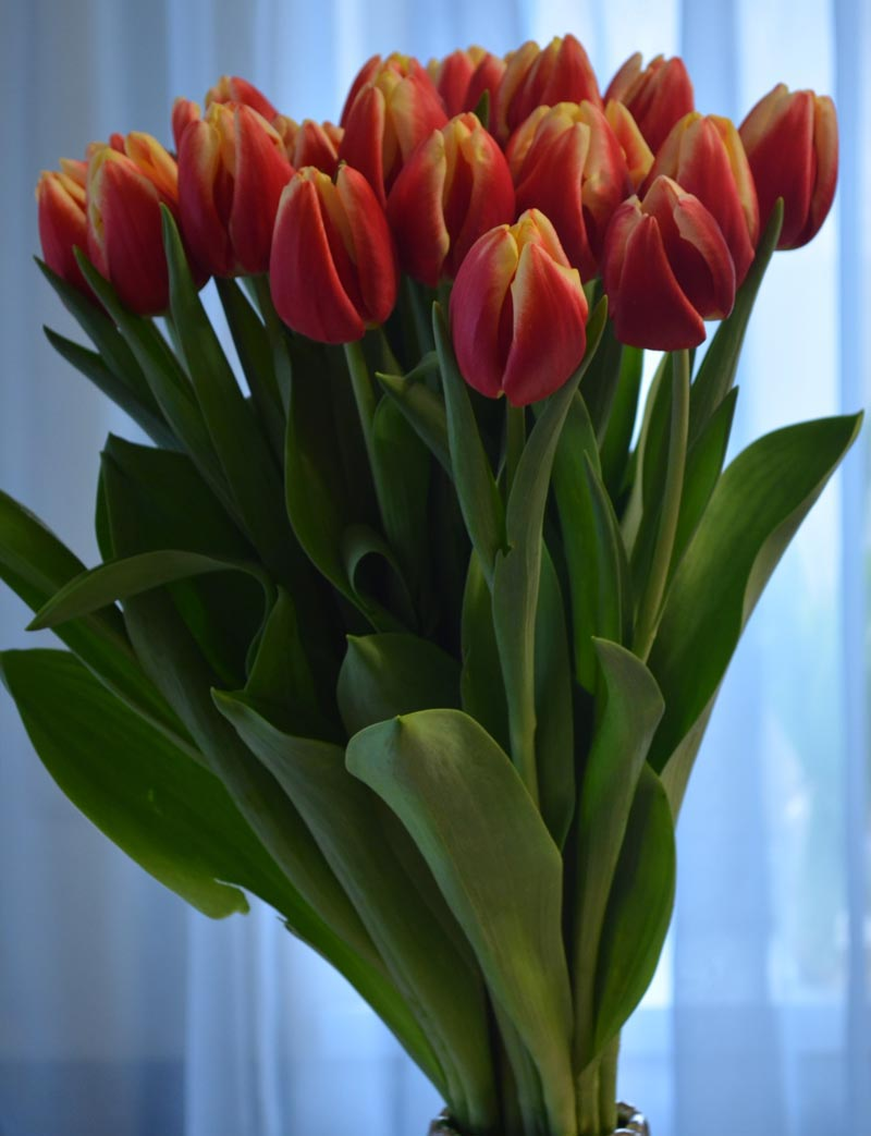 Где купить букет тюльпанов для выгонки